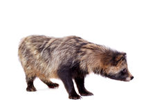 Raccoon Dog on white background Royalty Free Stock Photography