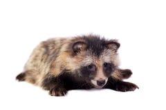 Raccoon Dog on white background Royalty Free Stock Photography