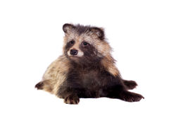 Raccoon Dog on white background Royalty Free Stock Photos