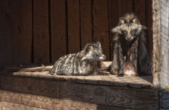 Raccoon dogs Royalty Free Stock Photo