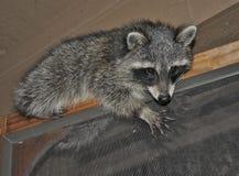 Raccoon on door frame Stock Photo