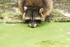 Raccoon drinking from a pond. Coverd by green duckweed Stock Photography
