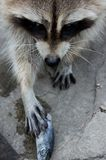Raccoon e pesci fotografie stock