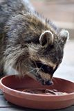 Raccoon Eating Stock Images