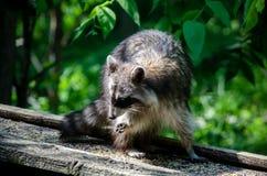 Raccoon eating bird seed Royalty Free Stock Photo