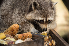 A raccoon Royalty Free Stock Image