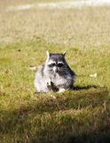 Raccoon eating on green grass Stock Images