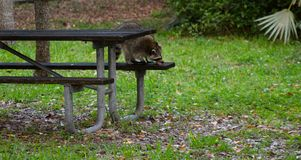 Raccoon eating leftovers at picnic area royalty free stock image