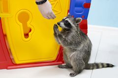 Raccoon eating out of hand. In the zoo Royalty Free Stock Photo