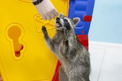Raccoon eating out of hand in the zoo. The raccoon eating out of hand in the zoo Stock Photos