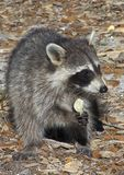 Raccoon Eating Potato Chip. A photo of a raccoon eating a potato chip royalty free stock images