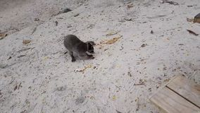 Raccoon that eats chips on the beach of Manuel Antonio in Costa Rica. stock video