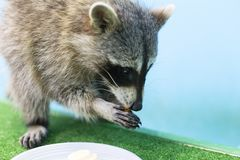 Raccoon eats nuts, holds in paws a treat stock images