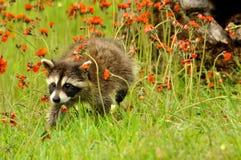 Raccoon em um campo de flores alaranjadas. foto de stock royalty free