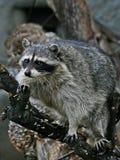 Raccoon em uma filial. imagem de stock