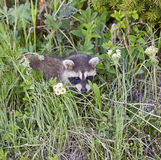 Raccoon entre as flores selvagens imagens de stock royalty free