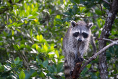 Raccoon at the Everglades, Florida, USA Royalty Free Stock Photo