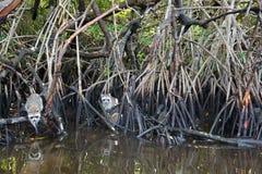 Raccoon at the Everglades, Florida, USA Royalty Free Stock Image