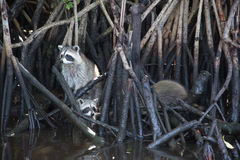 Raccoon at the Everglades, Florida, USA Royalty Free Stock Photos