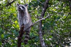 Raccoon at the Everglades, Florida, USA Stock Images