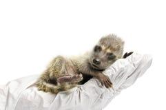 Raccoon Exam royalty free stock photos