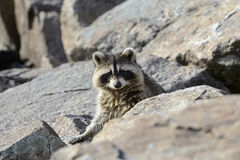 Raccoon eye contact Royalty Free Stock Images