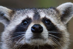 Raccoon eyes. Staring face black grey and white fuzzy furry Stock Photo