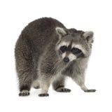 raccoon för procyon för 9 lotormånader Royaltyfri Bild