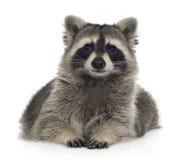 raccoon för procyon för 9 lotormånader Arkivbilder