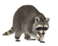 raccoon för procyon för 9 lotormånader Arkivfoto