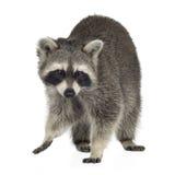raccoon för procyon för 9 lotormånader Arkivbild