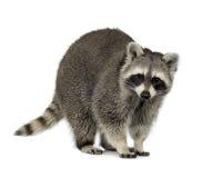 raccoon för procyon för 9 lotormånader royaltyfria foton