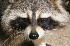 Raccoon Face. A closeup of a raccoon face Royalty Free Stock Images