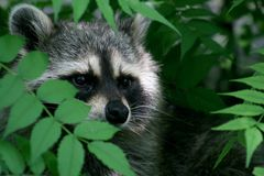 Raccoon Face. A raccoon peeking out from a bush Royalty Free Stock Photography