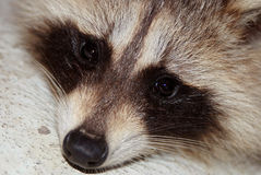 Raccoon face close-up Stock Photography
