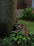 Raccoon family caught off guard in Toronto, Ontario, Canada. Summer2015. stock images