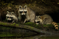 Raccoon Family. On a log near a pond Royalty Free Stock Images