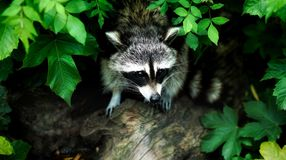 Raccoon, Fauna, Mammal, Procyonidae royalty free stock photography