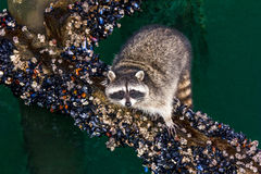Raccoon Feast. A portrait of a raccoon gorging on sea life on a beam below a dock in Port Angeles, WA Stock Images