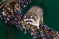 Raccoon Feast Stock Images