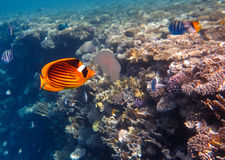 Raccoon Fish. Raccoon Butterflyfish in the Coral Reef, Red Sea stock photo