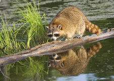 Raccoon fishes in a river. Stock Image