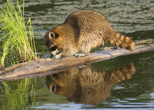 Raccoon fishes in a river. Royalty Free Stock Photos