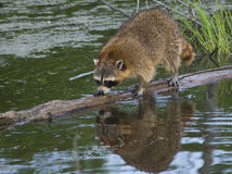 Raccoon fishes in a river. Royalty Free Stock Image