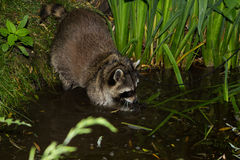 A Raccoon is fishing in the Water. A tame Raccoon is fishing in the Water Royalty Free Stock Photography
