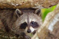 Raccoon. A raccoon in Florida`s Big Cypress Swamp Stock Photography