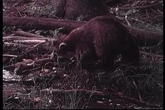 Raccoon foraging for food in the wilderness stock video