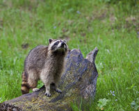 Raccoon in forest. The raccoon looks at home in the mountains Royalty Free Stock Photo