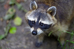 Raccoon Stock Photos