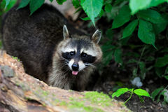 Raccoon in the forest Stock Photo